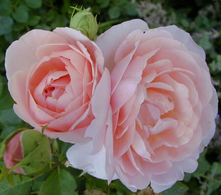blanche et rose 2